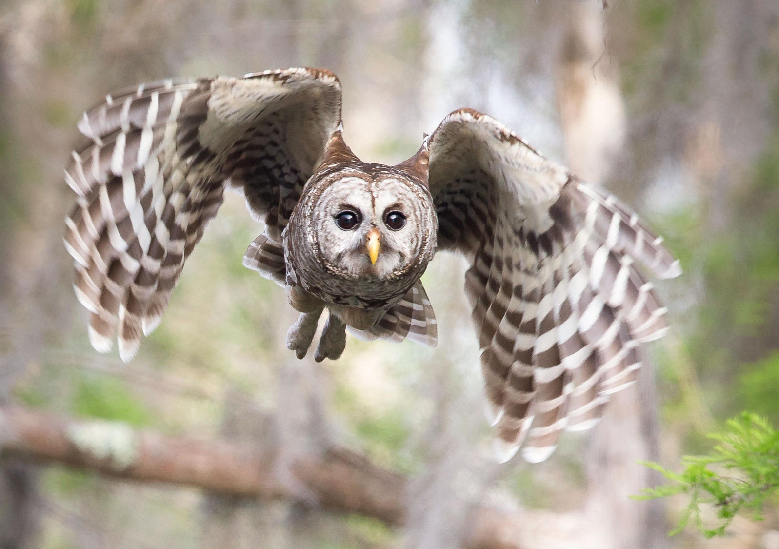 barred owl_1